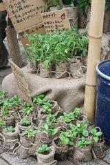 バジル麻袋苗