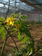 トマトの花1