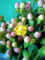 ヒペリカムの花