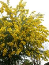 アカシアの木2