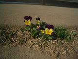 小さい春3