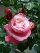父さんのバラ
