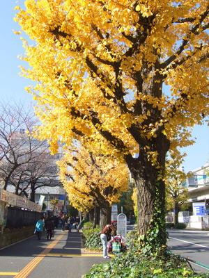 千駄ヶ谷駅前の銀杏