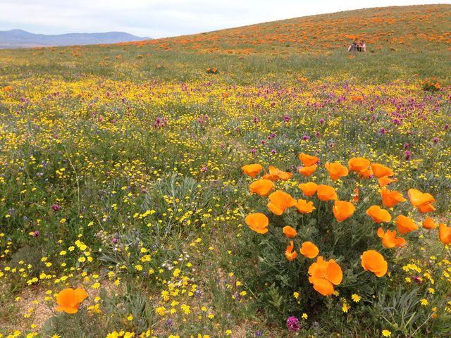 辺り一面カリフォルニアポピーのお花畑 アンテロープ・バレー : まぐ ...