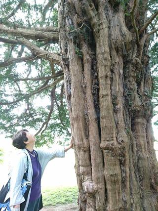 チャリスの木