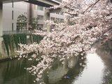 江戸川橋公園桜3.26