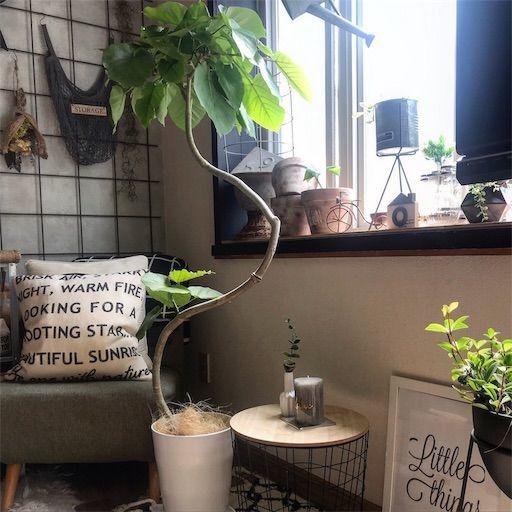ウンベラータ インテリアグリーン 観葉植物 育てやすい植物