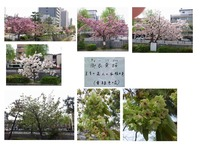 堀川通り桜