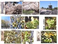 御室桜・御衣黄