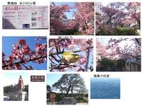 atami-sakura