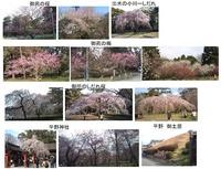 御苑・平野神社桜