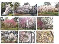 kyotogyoen-sakura1