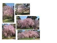 京都御苑・桜