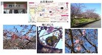 atami-kawadu-sakura