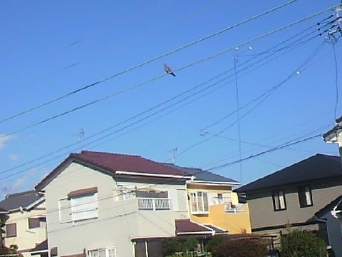 住宅街 鳩