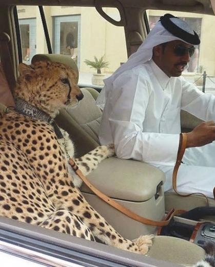 アラブ ペット
