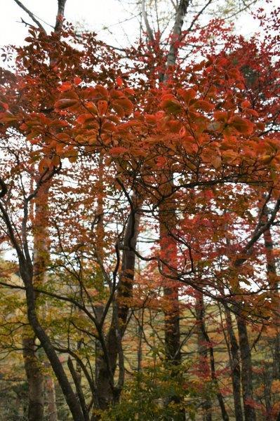 唐松尾根の紅葉