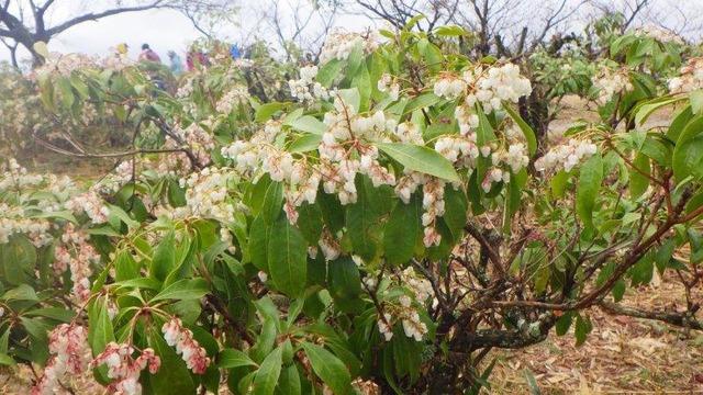 咲き誇る馬酔木(アセビ)の花