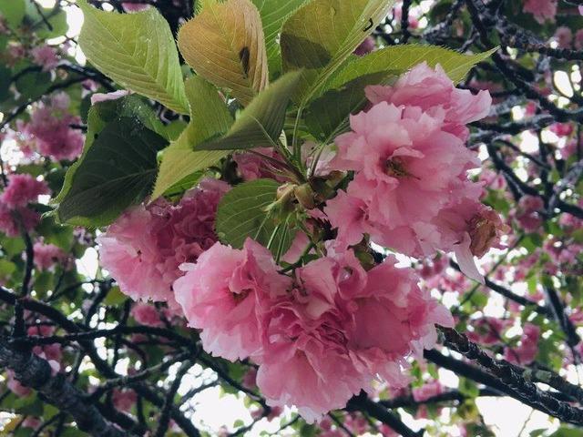 あしかが桜