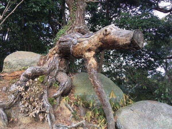 千光寺の樹