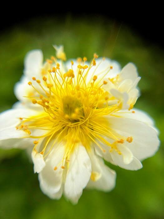 写真10 四つ葉のクローバー? 八重咲きチングルマ!