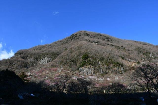 幕山全景。麓には4000本の梅が咲く