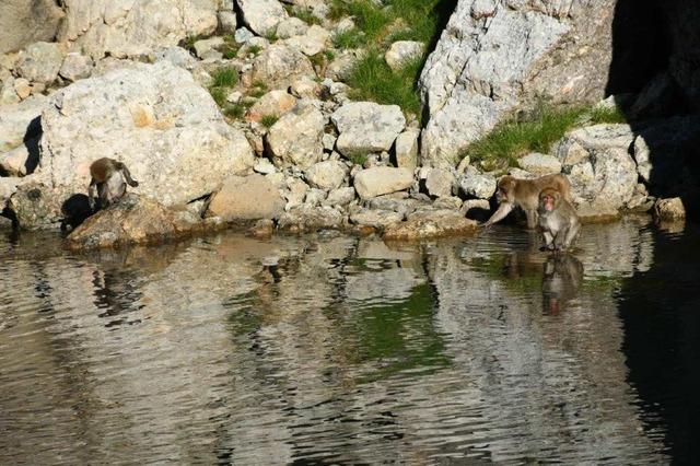 天狗池で水遊びをするサル