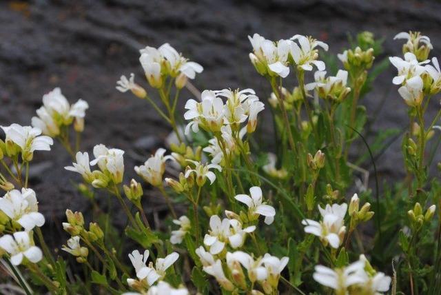フジハタザオの花が風に揺れる