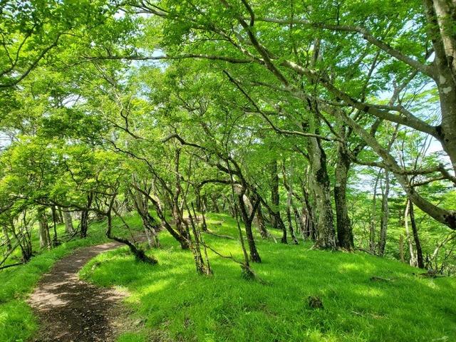 鍋割山へ向かう緑の道。美しい新緑の道だ