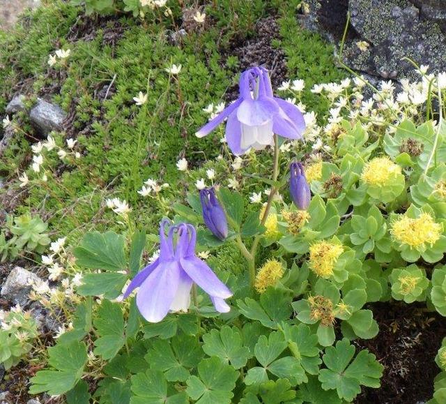 涸沢岳稜線上に咲くミヤマオダマキ