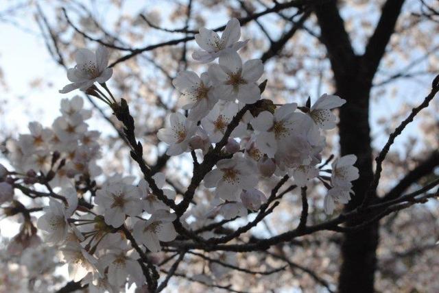 満開の桜。参加者を祝福するかのよう
