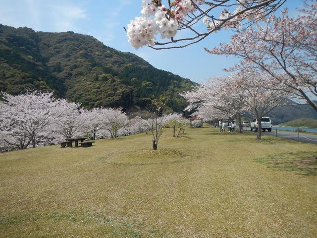 15途中の公園で満開の桜と昼食・四万十川