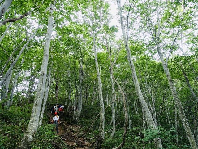 写真19:明るいブナ林を降りていく