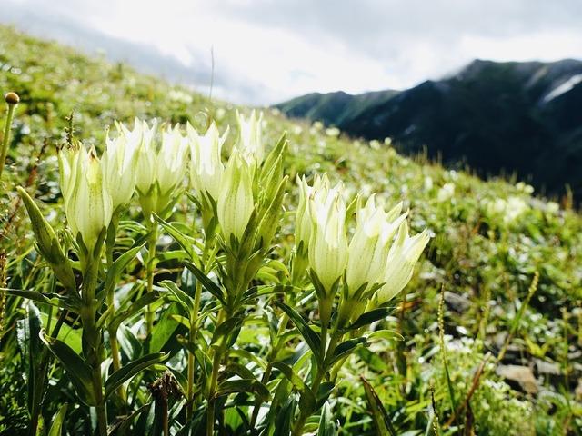 写真11:雪倉岳の手前はトウヤクリンドウが満開。