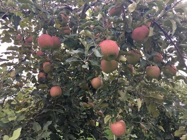 加藤農園にてリンゴ狩り