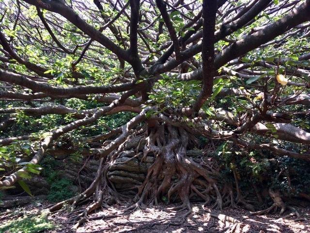 溢れる生命力を感じるアコウの木