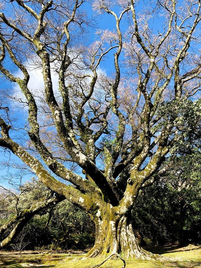 ⑥手引頭のブナの大木