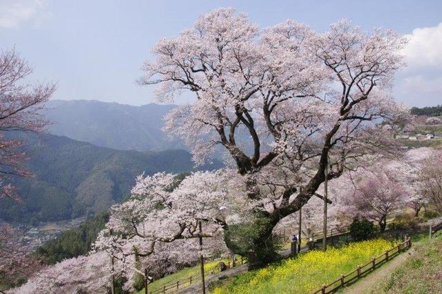 樹齢500年の「ひょうたん桜」