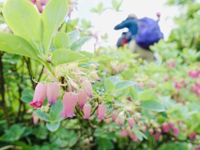 写真06 ウラジロヨウラクの森を歩く