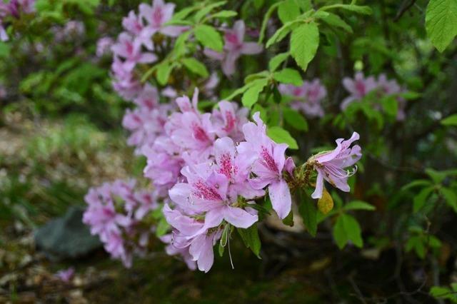 咲き誇るツツジの花