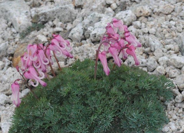 唐松岳の稜線上に咲く高山植物の嬢王・コマクサ