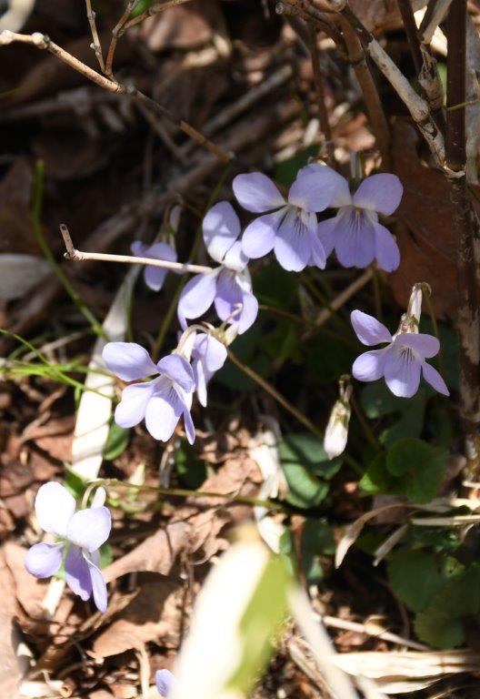 登山道のあちこちにスミレが咲いていた