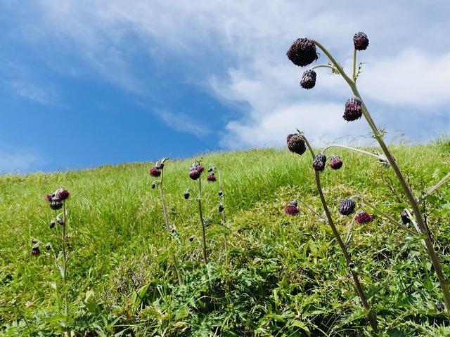 写真08:鳥海山にある固有種のうち、1つがこのチョウカイアザミ。