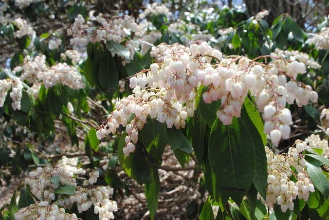 アセビ。白い花が愛らしい