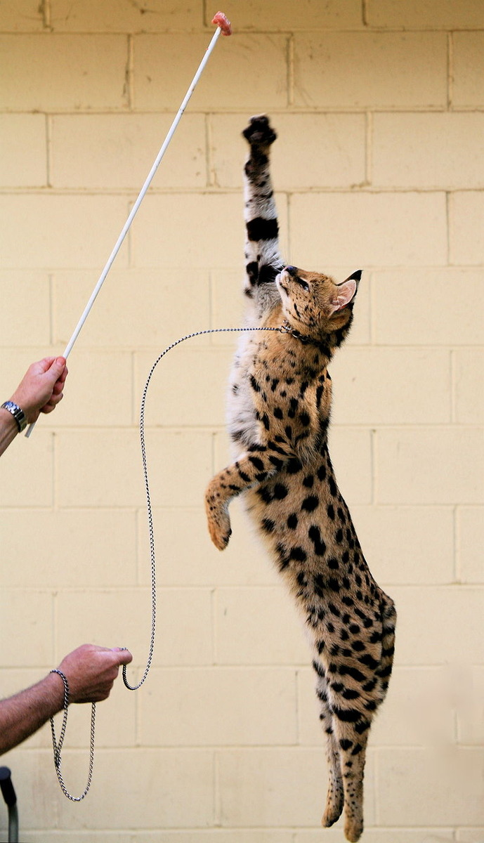 800px-Jumping_Serval