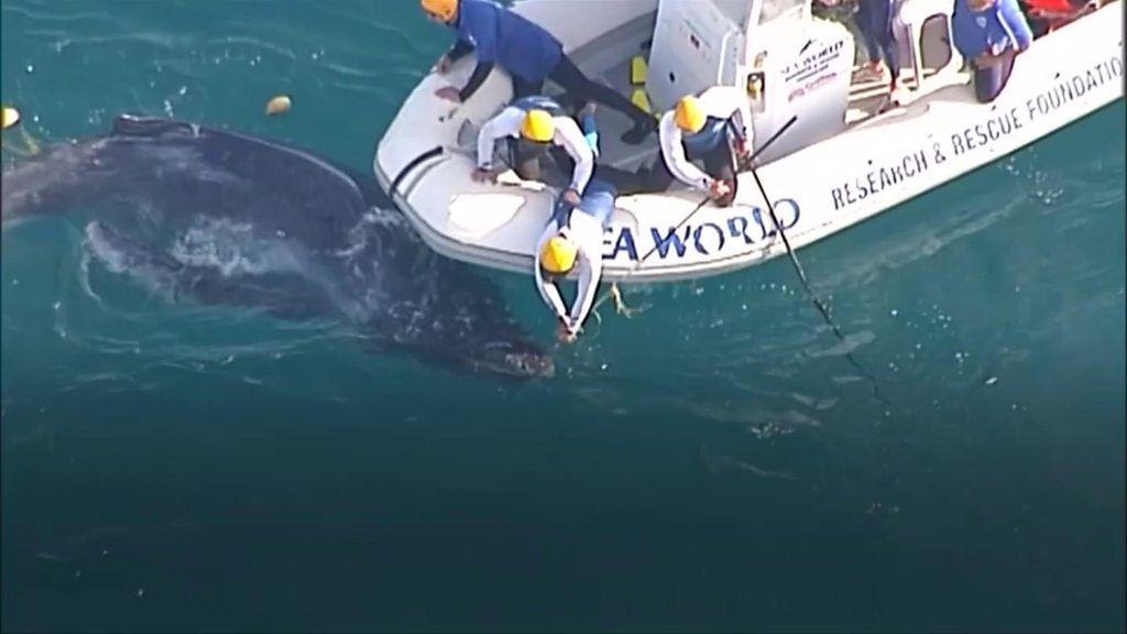 網にからまって動けず、子供のザトウクジラ救出 豪東岸沖 - BBC News
