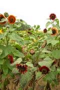 mahogany velvet flower