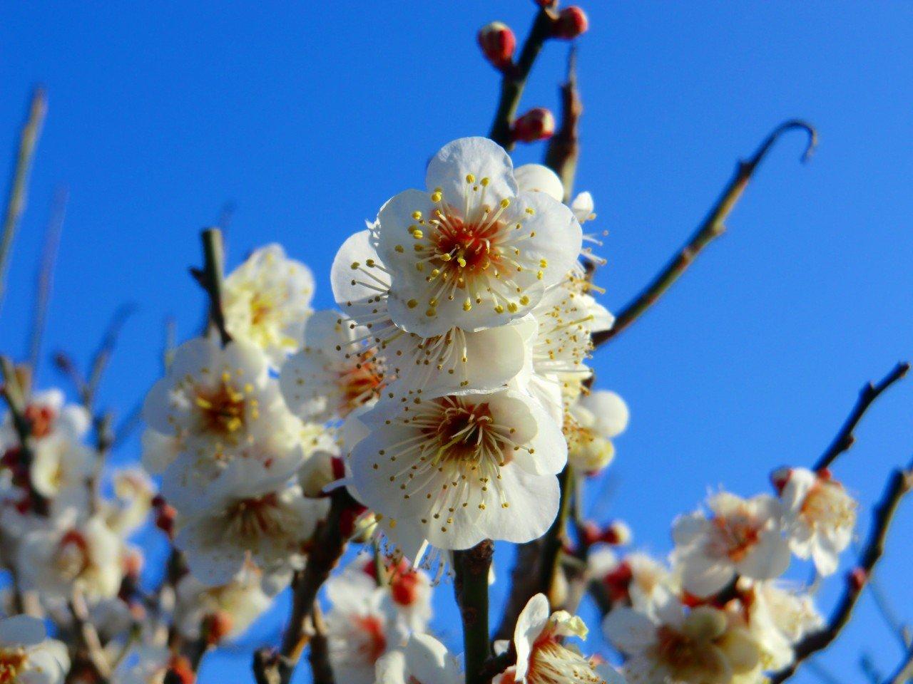 は 桜 かいな 咲い は たか 梅 まだ