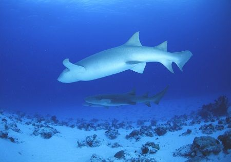 グレーサメ1
