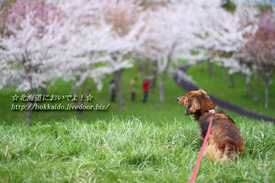 インディーと桜
